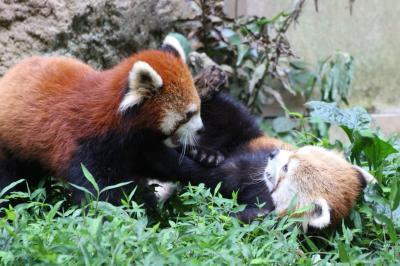 夏の多摩動物公園はナイトズー開園延長で10時間半満喫@(5)Red Panda Children特集:暑さを吹き飛ばす子パンダの愛らしさ!~ヤンヤン・フーフー兄弟とライライ、出たり入ったりしながら大はしゃぎ@