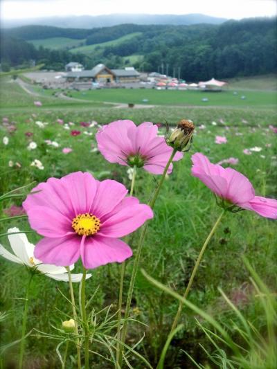 【2015夏旅】遠軽のコスモス
