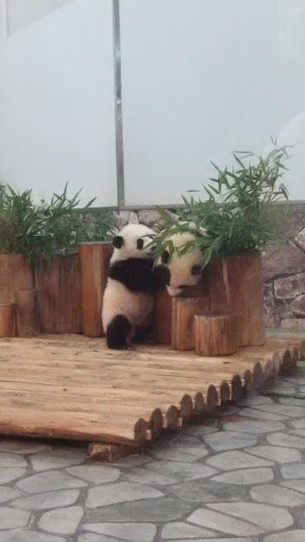 エクシブ白浜アネックスに泊まるパンダの赤ちゃんだけが目的の2日間