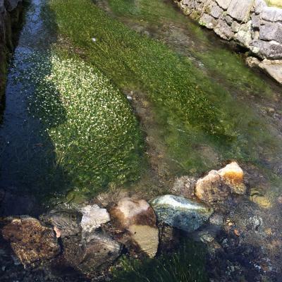 梅花藻と夏の伊吹山