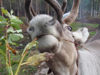 フィンランド・秋の北極圏で最高の休日を!   ロヴァニエミで暮らしたい!  2日目アンティークショップをちょっと覗いてそのあとサンタクロース村へ   待望のオーロラも!