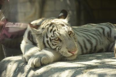 東武動物公園のホワイトタイガーをみてきた