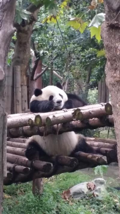 ★2015年9月★中国四川旅②(9/18 ★2日目 成都大熊猫繁育研究基地)★