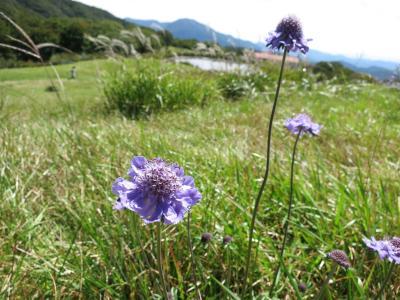 吾妻山の可憐なマツムシ草を見に・・・