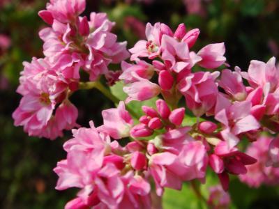 久喜市、加須市  赤いそばの花、薄紫のホテイアオイの花