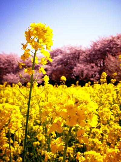 【2015】幸手市の権現堂桜堤でお花見+おまけ