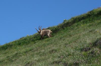 ブリエンツァーロートホルン山頂で野生のアイベックスに遭遇!