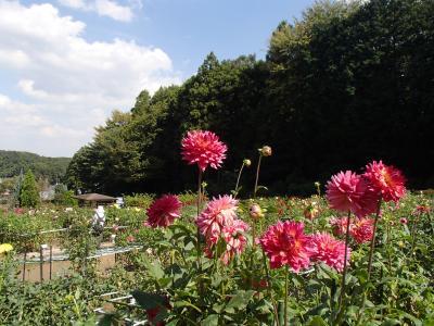 開園30周年の町田ダリア園