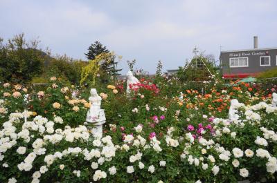 800種3500?のバラが咲き誇る姫路ばら園