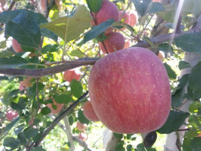 りんごと紅葉を求めて