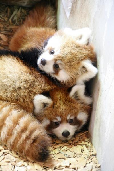 Hello!レッサーパンダの赤ちゃん~柱をするする登るクリーム色とこげ茶色の仲良しやんちゃ兄弟、長野・茶臼山動物園にて