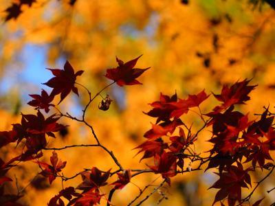 牛滝山大威徳寺の紅葉
