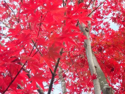 国営昭和記念公園のイチョウ並木黄葉と日本庭園紅葉を見る