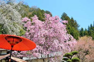 桜を追いかけて。