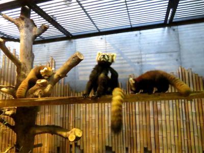 晩秋のレッサーパンダ紀行【9】 いしかわ動物園 2年連続のベビー誕生!! 今年唯一の8月生まれの双子姉妹の展示がはじまりました