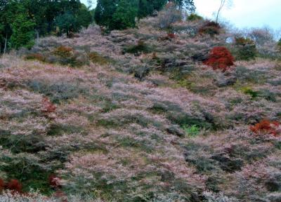 小原四季桜