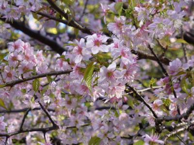 東大本郷キャンパスの満開ヒマラヤ桜と丸の内のこれからのヒマラヤ桜