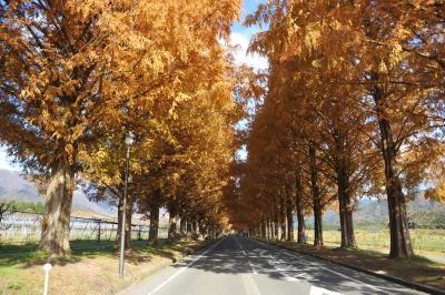 高島市マキノビッグランド紅葉のメタセコイア並木道
