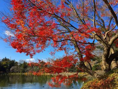 善福寺公園の紅葉