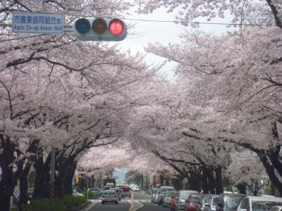 満開の相模原桜通り