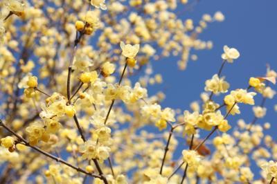早くも開花!甘い香りのロウバイのお花と長瀞アルプス陽だまりハイキング(2016年1月4日)