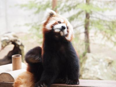 レッサーパンダの赤ちゃんに会いにいしかわ動物園に行こう♪ランチは金沢でお寿司をたくさん食べました