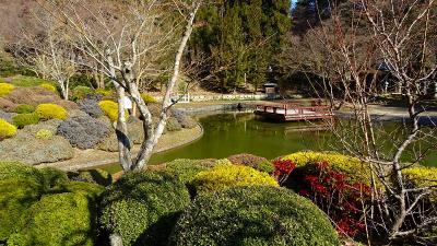 池田市 久安寺の蝋梅は盛りを過ぎていました。
