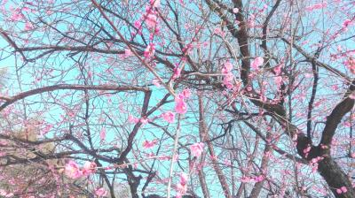 梅の花がきれいです