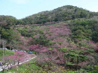 もとぶ八重岳桜まつりに行ってきました。山肌が桜に覆われ,とてもきれいでした。日本一の桜です。
