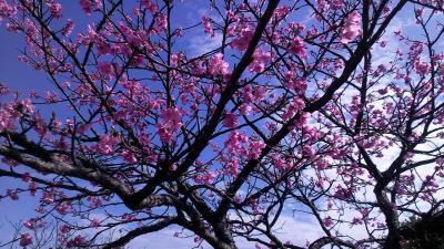 今帰仁城の桜まつり。遺跡と桜はよくマッチする。いいところです。
