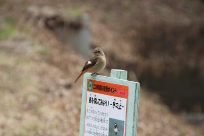 春を探しに… 北本自然観察公園  野鳥たちに癒されて…