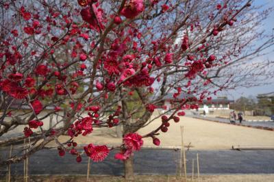 アイラブ仏像めぐり 薬師寺の2月は、梅の花