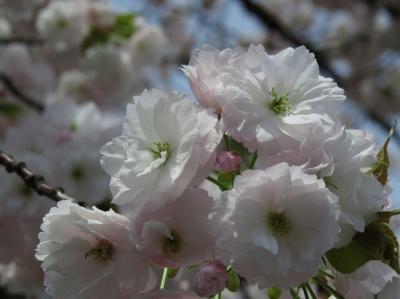 京都の桜2015  二条城の桜(枝垂れ桜と八重桜)