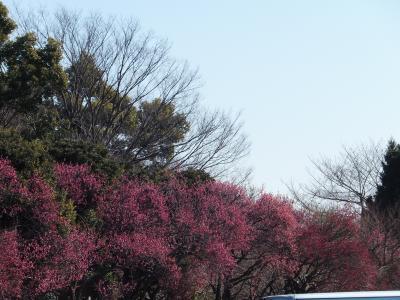 今年は大宮公園の梅が早い!