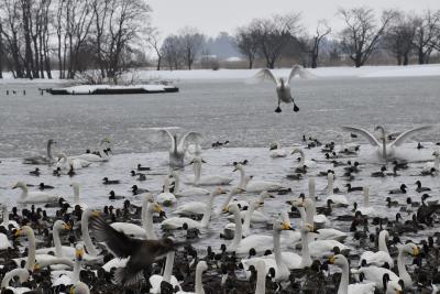 日本一の白鳥越冬地~越後平野の潟と田んぼがある瓢湖を訪ねて(新潟)