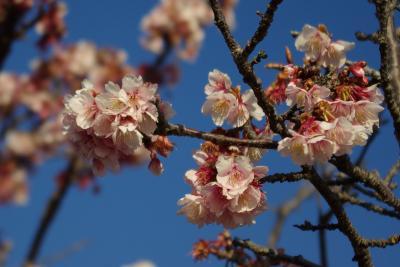千葉・抱湖園の元朝桜はびっしり満開。千倉の花摘みで春満喫。