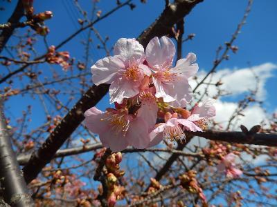ふじみ野市のカワズザクラの開花が進む