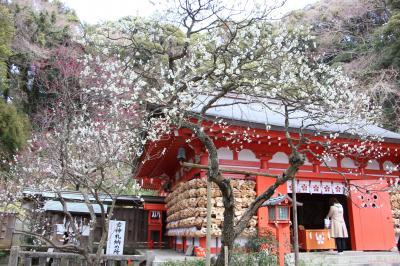 早咲きの梅が見頃となった鎌倉、桜と節分草も楽しめました♪