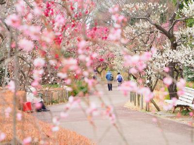 働きアリの春さんぽ 三浦海岸桜まつりと府中郷土の森梅まつり