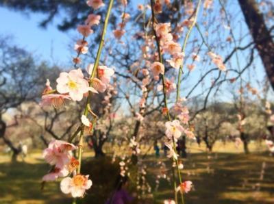 まるで桜のように咲き誇る梅