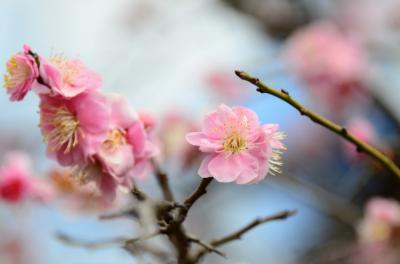 梅を求めて 梅ヶ丘,亀戸天神