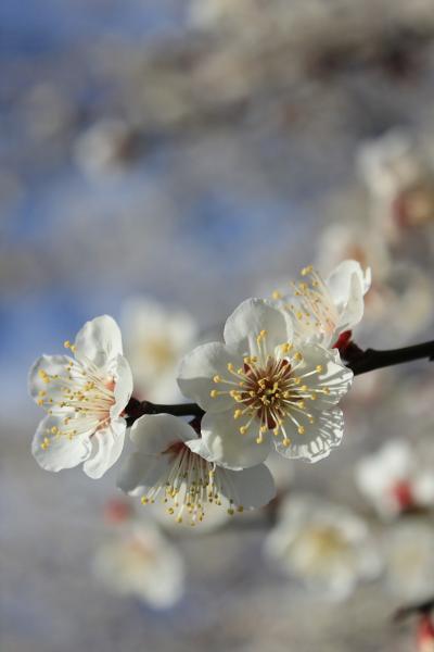 梅の花も見頃となって♪ 早春の平芝梅林公園