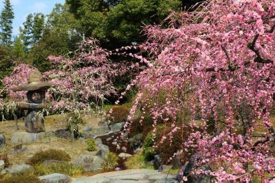 京都を歩く(233) 春の訪れを告げる梅の花
