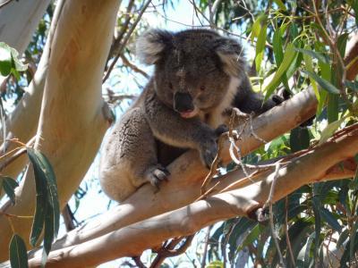 シドニー→アデレード!気ままに女ひとり旅 その5【大感激のカンガルー島】