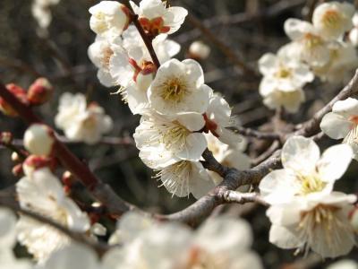 月ヶ瀬梅林再訪~2016.2/28はまだ3~5分咲きでした。