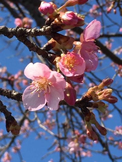 埼玉で河津桜