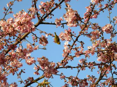 早朝ウォーキングで鷲宮神社から河津桜を愛でながら巡る