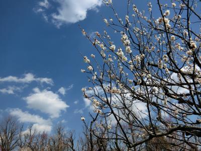 羽根木公園 梅まつり