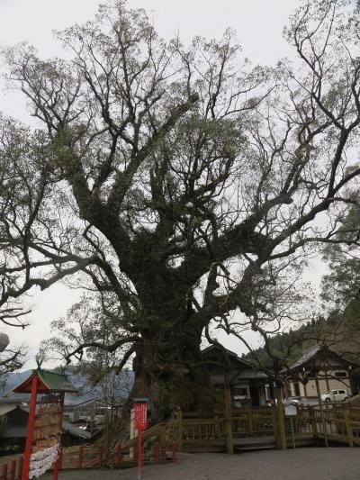 蒲生八幡神社境内 日本一の「大クス」に対面 ☆巨樹に畏敬の念、鹿児島空港へ