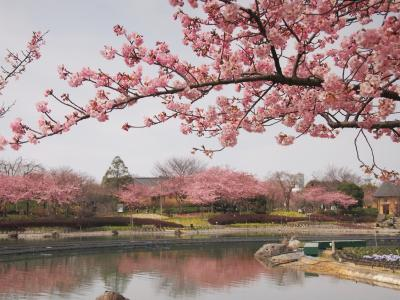 枝垂れ梅、河津桜、花盛り~